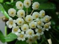 Rare Hoya Lacunosa Eskimo wax plant