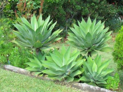Foxtail Agave's & other plants