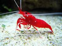 MARINE FISH / LOVELY BRIGHT COLOUR LARGE FIRE SHRIMPS