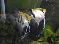 Koi X Zebra Tropical Angelfish for sale £2 Each