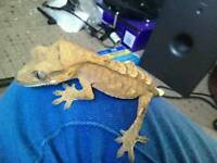 Sub adult male crested gecko