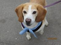 Mac - Beagle with special needs looking for loving home