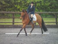 15.3hh mare for sale