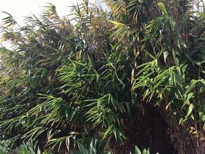 Free tiger grass plants make excellent screening and landscaping Urunga Bellingen Area Preview