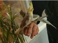 HIGH & STRONG QUALITY Tame Baby Cockatiels [£65/£70 EACH] For Sale + Cages From £30