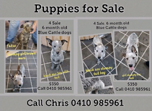 Cattle dog pups Free to good homes | Dogs & Puppies