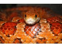 Friendly Corn Snake needs new home