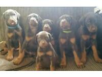 doberman puppy girls