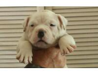 Dorset old tyme bulldog puppies