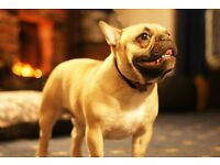 KC Registered French Bulldogs for Sale