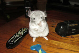 Debbie's Newfoundland Chinchillas
