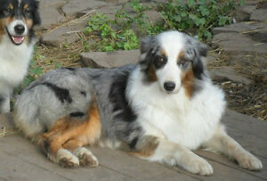 $1500 REWARD for our PRINCESS: TAKEN: Australian Shepherd Dog