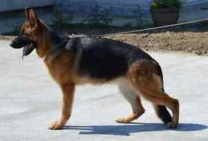 **European Purebred German Shepherd  Need Country Home or Farm