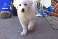 Great Pyrenees puppies ONE LEFT
