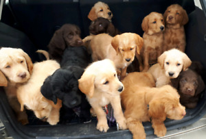 F1 Labradoodle puppies for sale! $1,150 ready to their new hom