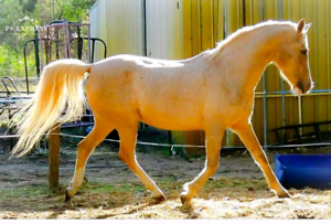 Palomino part arabian mare