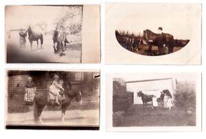 16 cartes postales photos très anciennes de CHEVAUX .