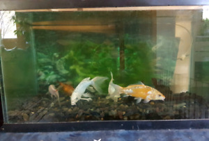 56 Gallon Fish Tank with Koi for sale