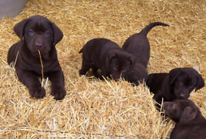 BEAUTIFUL, QUALITY PUREBRED CHOCOLATE LAB PUPPIES