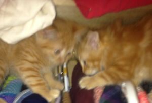 2 Male Orange Kittens Available