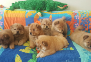Purebreed Chow Chow Puppies for Sale