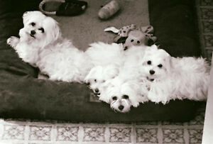 Maltese pups-miniature-ready for new home Edmonton Edmonton Area image 4