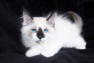 Ragdoll Kittens are available for Rehoming