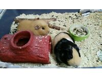 2 guinea pigs for rehoming