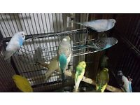 good condition budgies for sale