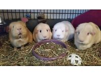 Manure: ready-to-use guinea pig manure, soil-improver, compostable, Nottingham