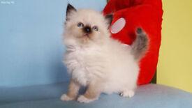 Beautiful kittens NEVA MASQUERADE