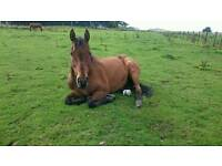 16hh 16 year old ex flat racer