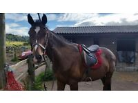 17hh Gentle Giant for part loan 4 days per week