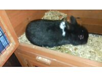 male netherland dwarf rabbit