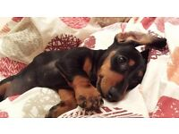 Amazing miniature dachshund puppies