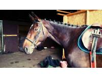 16hh mare for share