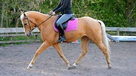 Stunning reg Quarter horse 5 yr old 15hh palomino gelding.