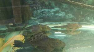 Forsale Rehoming Fish Peacock Bass Stingray Plecos Catfish Berriedale Glenorchy Area Preview