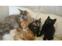 maine coon cross (prices from 80-150)