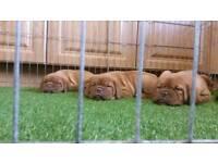 Stunning Dogue De Bordeaux Pups
