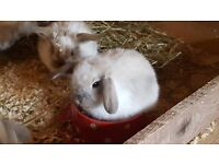very cute mini lop rabbits only two left
