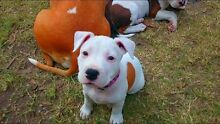 Amstaff pups for sale :READY NOW (American) stunning colours Jimboomba Logan Area Preview