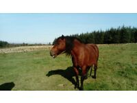Welsh Section D gelding