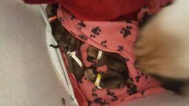 Beautiful Full KC registered Pug Puppies****