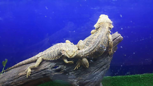 Breeding pair bearded dragons, enclosure & extras Manunda Cairns City Preview