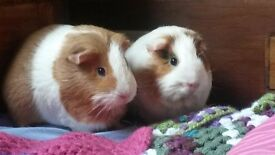 2 Female Guinea Pigs with large indoor cage and accessories