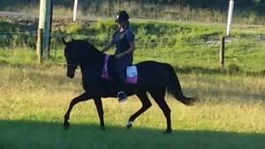Saddlebred mare Medowie Port Stephens Area Preview