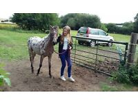 13'2hh spotted gelding 2 years old