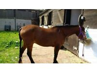 13,2 9 year old gelding for loan