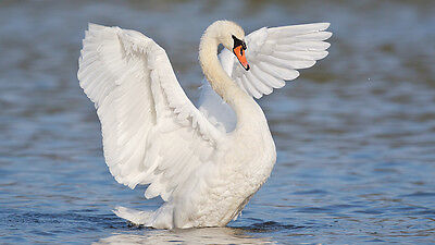 The White Swan Elegance and Grace